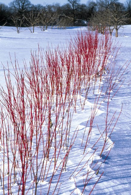 Spice up your winter landscape buck and sons landscape for Red twig dogwood