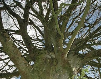 img-mature-tree-branching