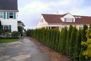 Evergreen trees can provide year round privacy for your family