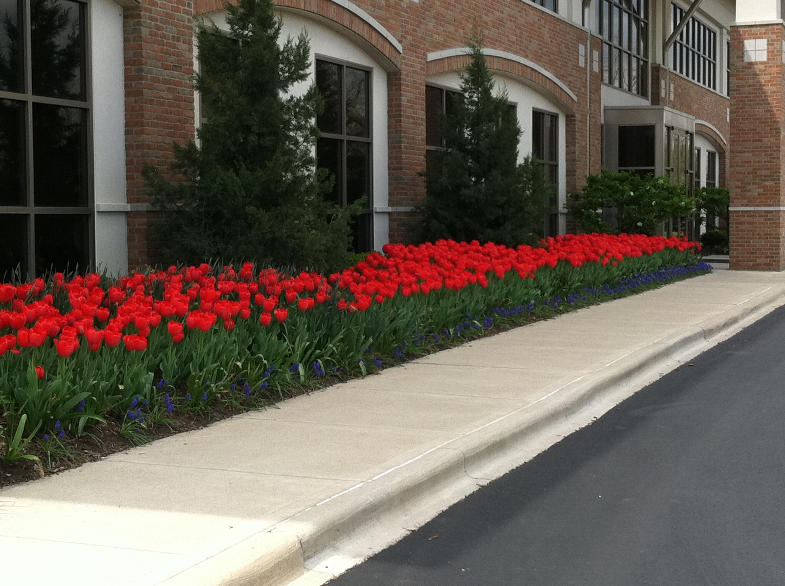 Plant spring flowers now buck and sons landscape services spring flowering bulbs let you know that winter is finally over beautiful flower displays can be enjoyed at your home office or in the comfort of your own mightylinksfo
